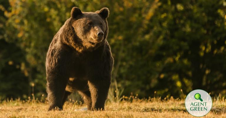 Povestea ursului împușcat de un țăran austriac, după ce țăranii daci n-au știut cum să nu-i pună pădurea pe foc